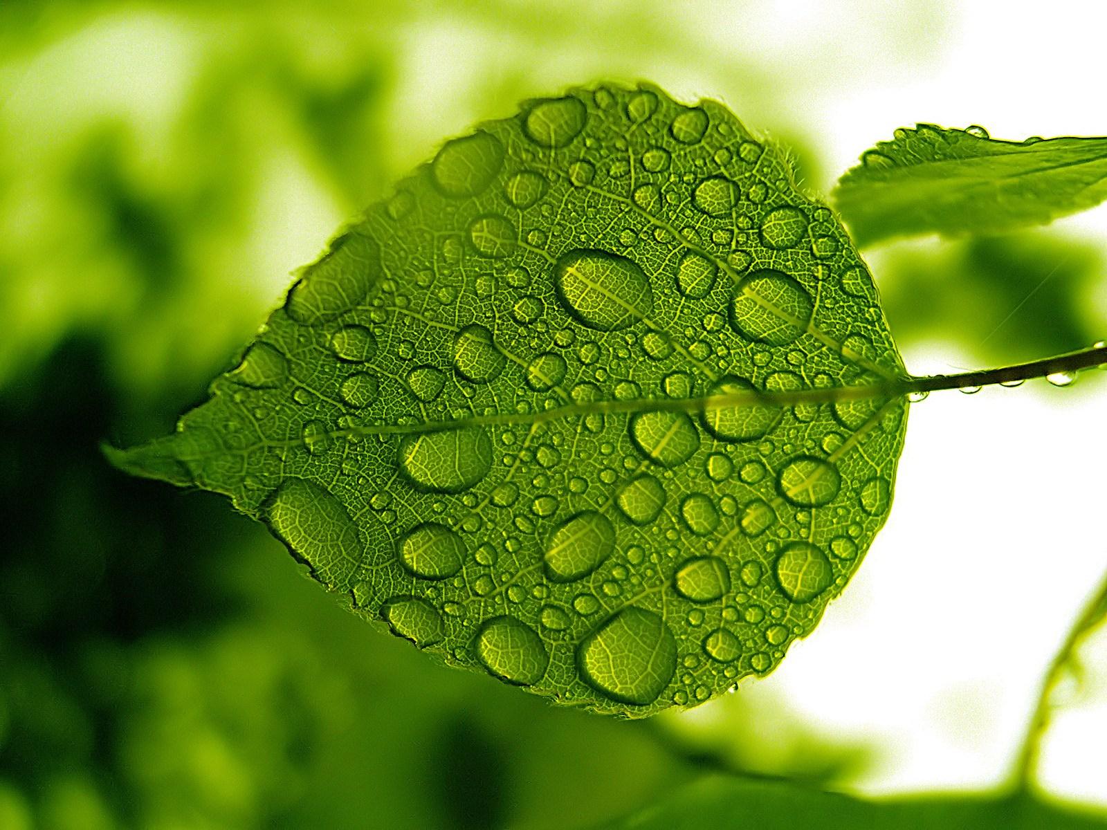 1600*1200 vista 植物桌布 (第五輯) 水珠与綠葉1 : 1600